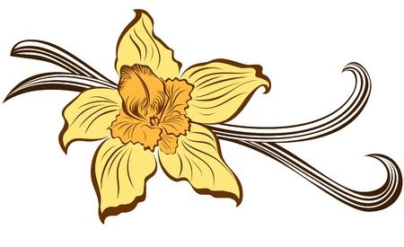 Vanilla flower and vanilla pods Illustration