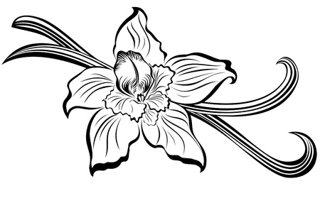 Vanilla pods and flower  Illustration