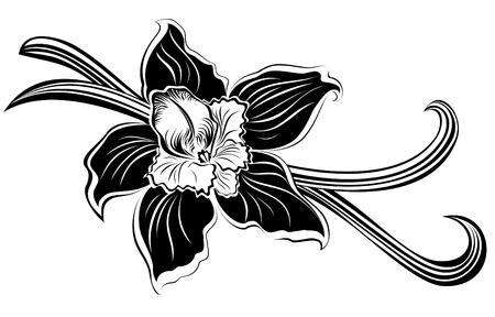 flor de vainilla: Vainas de vainilla y flor
