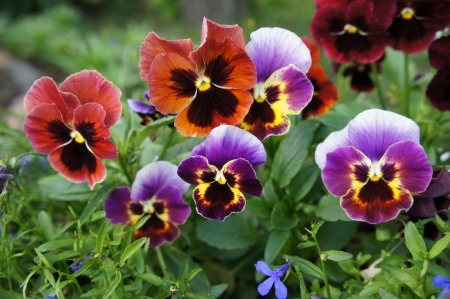 pansies: Pansies background