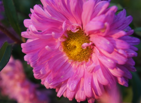 Beautiful aster flowers photo
