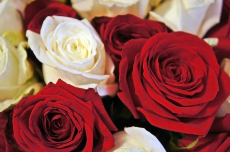 Bed of red and white Roses                   photo