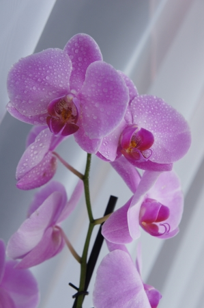 flower garden path: Pink orchid with water drops Stock Photo