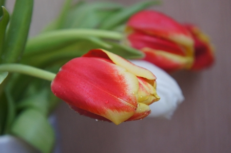 Tulips with water drops photo