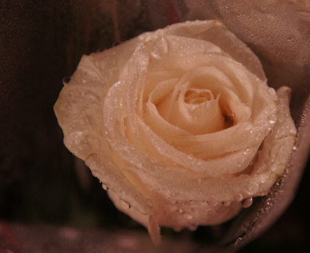 White Rose with dew drops photo
