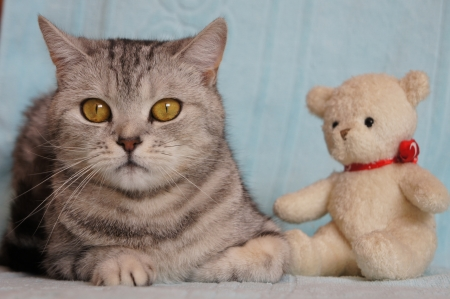 gray cat: Cat with teddy bear Stock Photo