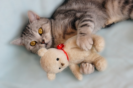 Cat with teddy bear                      photo