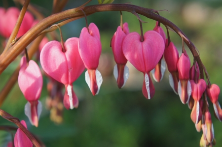 Bleeding Heart flower  Dicentra spectabilis  photo