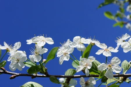 Peach flower: Cherry Blossom against the blue sky in the spring