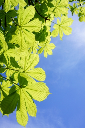 Green leaves in front of a blue sky  photo