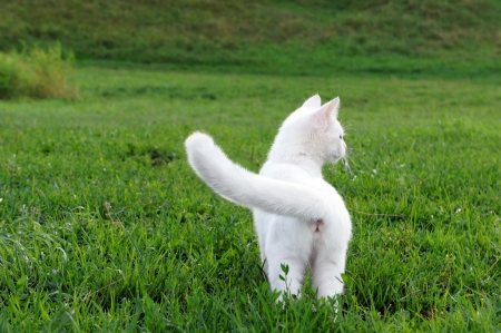 cat playing: Adorable white kitten in the grass