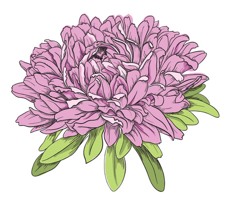Flower hand drawn aster Stock Vector - 23350271
