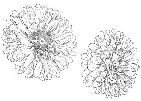 aster: Flower hand drawn aster