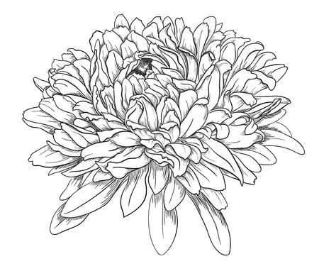 Flower hand drawn aster Stock Vector - 23350274