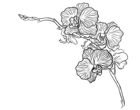 ramos de flores: Mano flor de la orqu�dea dibujada vector