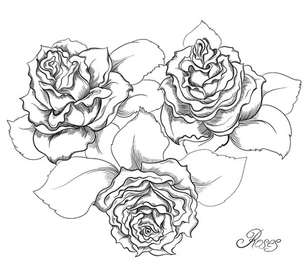 flower close up: Hand drawn illustrations of roses