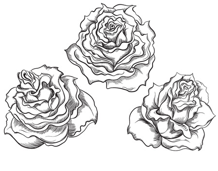 Hand drawn illustrations of roses