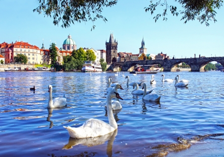 praha: View on Charles bridge and Swans on Vltava river in Prague, Czech Republic