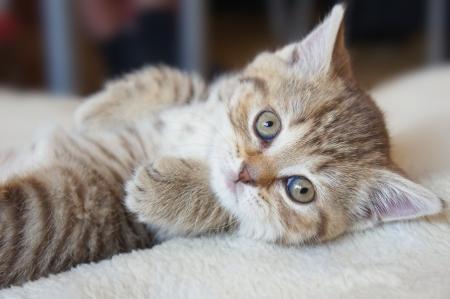 Cute striped scottish kitten photo