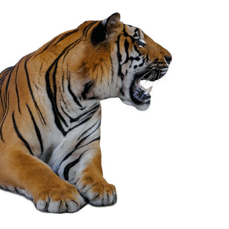 Tiger isolated on white background Stock Photo