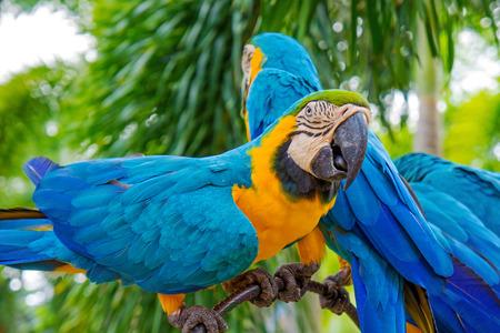 animales del zoo: Increíble Guacamayo azul y amarillo (loros Arara)