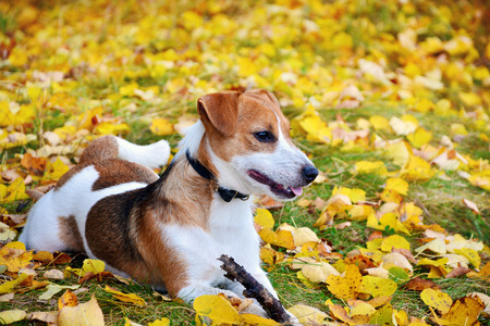 Cute jack russell terrier, dog with a stick on a background of autumn leaves