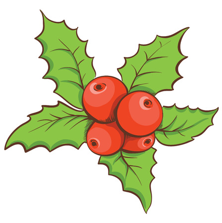 aquifolium: Christmas holly leaves and fruit. Vector hand drawn illustration.