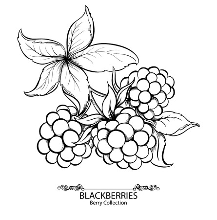 bramble: Blackberries. Vector illustration of ink hand drawn berry Illustration