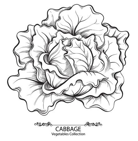 キャベツ。白い背景上に分離されてベクトル手描き野菜