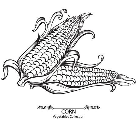 planta de maiz: Maíz dulce. Drenados mano del vector verduras aislados sobre fondo blanco