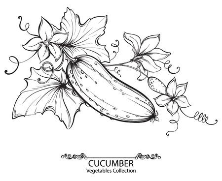 Vector illustrazione disegno di cetrioli e fiori su un ramo isolato su sfondo bianco mano. Raccolta di ortaggi