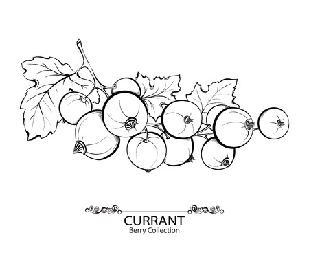 currants: Red currant . Vector illustration of ink hand drawn berry