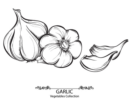 garlic cloves: Vector hand drawn illustration with spice garlics isolated on white background