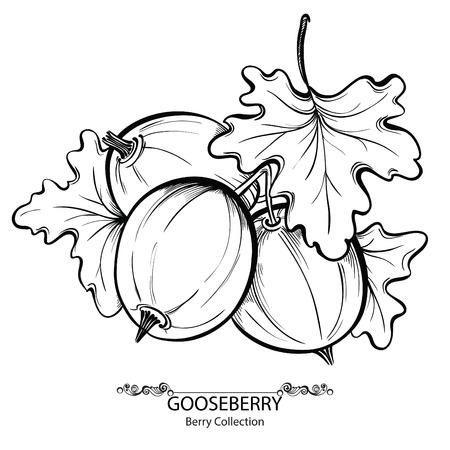 grosella: Grosella. Ilustración vectorial de dibujado a mano de la baya de tinta