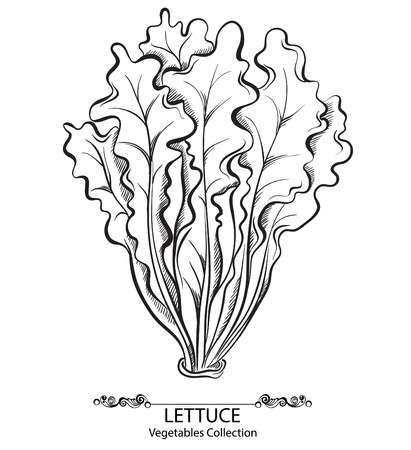 romaine lettuce: Salad Lettuce. Vector hand drawn vegetables isolated on white background