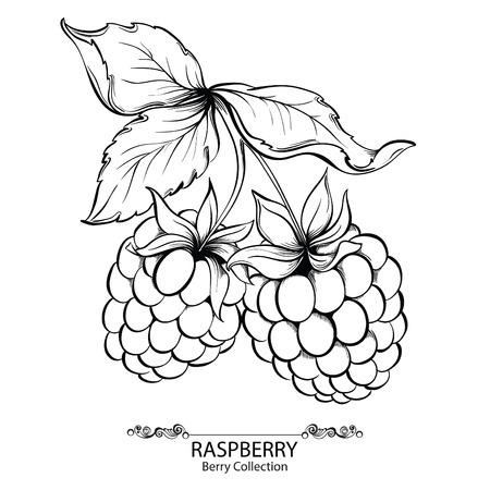 Raspberry. Vector illustration of ink hand drawn berry