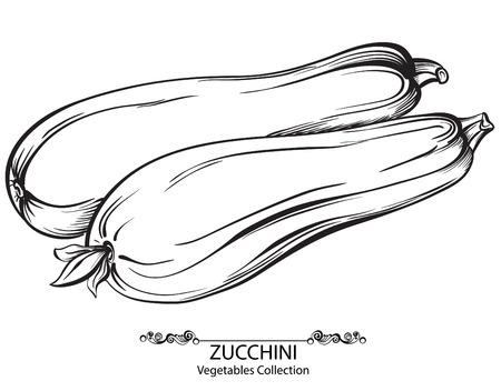 médula: Calabacín. Drenados mano del vector verduras aislados sobre fondo blanco Vectores