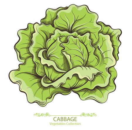 Cavolo. Verdure disegnate a mano di vettore isolate su fondo bianco