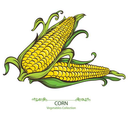 espiga de trigo: Ma�z dulce. Drenados mano del vector verduras aislados sobre fondo blanco