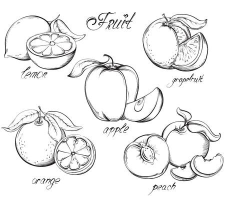 melocoton: Cuajado. Manzana, lim�n, pomelo, naranja y melocot�n. Dibujado mano del vector. Ilustraci�n del estilo del bosquejo de la vendimia.