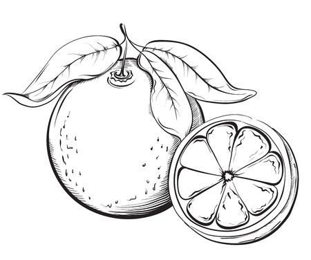 Orange. Hand drawn fruit. Sketch Vector illustration