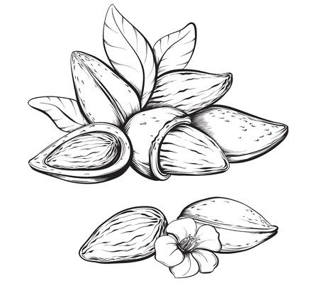 Amandelen. Hand getrokken schetsen vector illustratie op een witte achtergrond in vintage stijl. Stock Illustratie