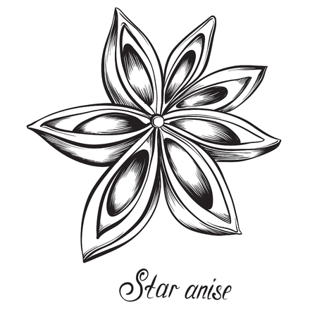 anise: Star anise. Kitchen herbs and spices. Hand drawn vector illustration