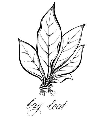 Kitchen herbs and spices. Bay laurel leaf. Hand drawn vector illustration. 일러스트