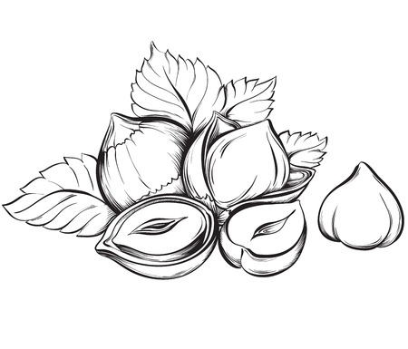 Hazelnuts. Hand drawn sketches vector illustration on white background in vintage style.