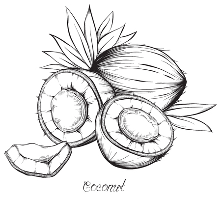 Coconut. Hand drawn sketches vector illustration on white background in vintage style. 矢量图像