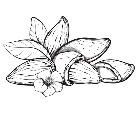 Almonds. Hand drawn sketches vector illustration on white background in vintage style.