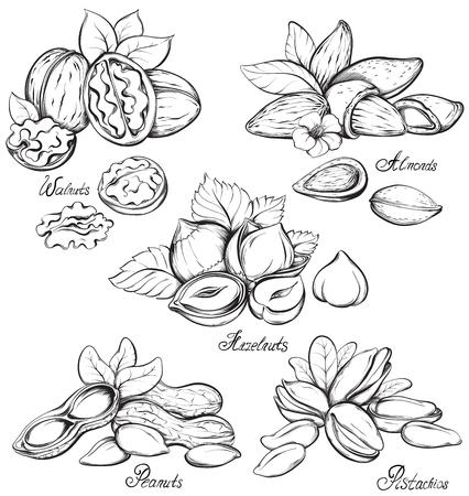 cacahuate: Conjunto de frutos secos: nueces, almendras, avellanas, cacahuetes y pistachos. Dé la ilustración vectorial croquis dibujado sobre fondo blanco en estilo de época.