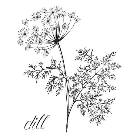 Dill. Küchenkräuter und Gewürze. Hand gezeichnet Vektor-Illustration