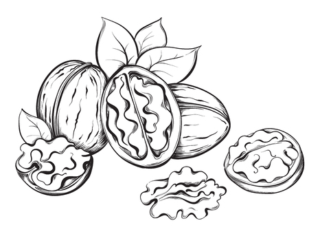 Walnut. Hand drawn sketches vector illustration on white background in vintage style.